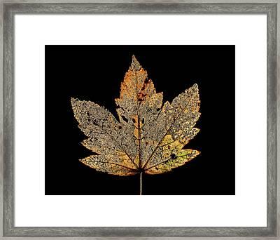 Decayed Norway Maple Leaf Framed Print by Gilles Mermet