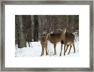 Deer Affection Framed Print by Karol Livote