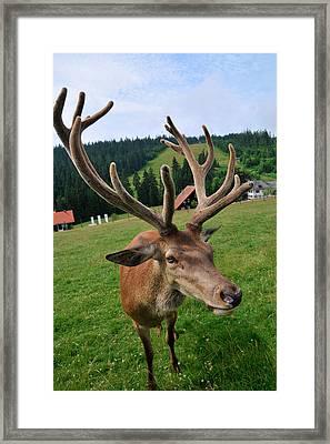 Deer Cervidae With Impressive Antlers Framed Print by Matthias Hauser