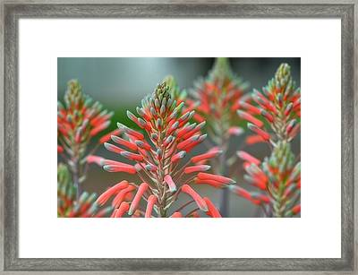 Delicate Aloe - Botanical Photography By Sharon Cummings Framed Print by Sharon Cummings