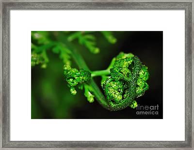 Delicate Fern Unfolding Framed Print by Kaye Menner