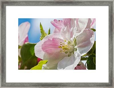 Delicate Spring Blossom Framed Print by Mr Bennett Kent