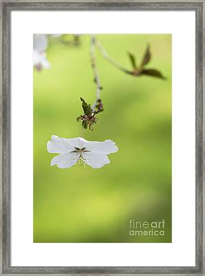 Delicate  Framed Print by Tim Gainey