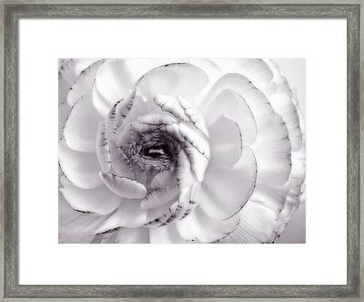 Delicate - White Rose Flower Photograph Framed Print by Artecco Fine Art Photography