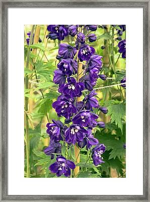 Delphinium 'blue Nile' Flowers Framed Print by Adrian Thomas