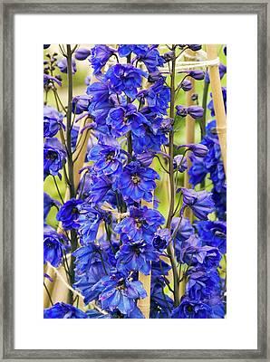 Delphinium 'blue Tit' Flowers Framed Print by Adrian Thomas