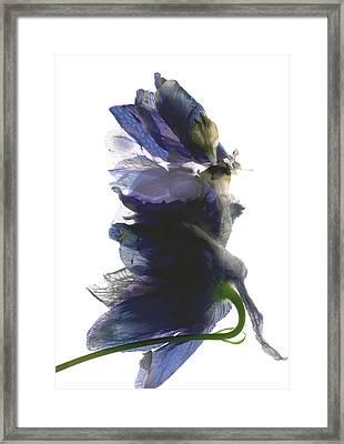 Delphinium Dance Framed Print by Julia McLemore
