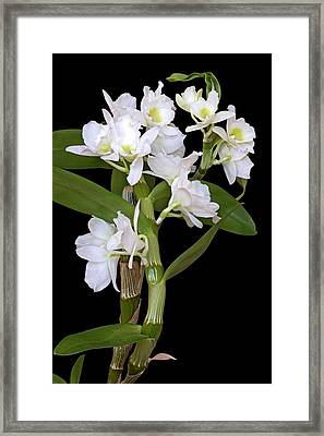 Dendrobium Nobile Orchid Framed Print by Dr. Nick Kurzenko