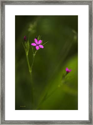 Deptford Pink Framed Print by Christina Rollo
