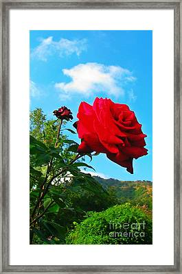 Descanso Rose  Framed Print by Anne Sterling