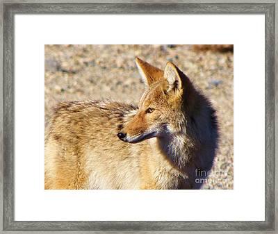 High Desert Coyote Framed Print by Michele Penner