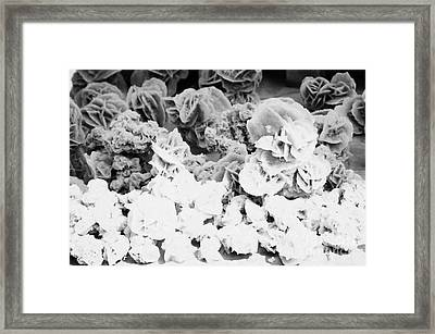Desert Sahara Sand Roses For Sale On A Stall In The Souk In Nabeul Tunisia Framed Print by Joe Fox