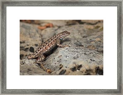 Desert Spiny Lizard Framed Print by Joseph G Holland