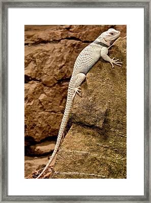 Desert Spiny Lizard, Sceloporus Framed Print by David Northcott