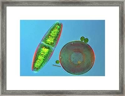 Desmid And Amoeba Framed Print by Marek Mis
