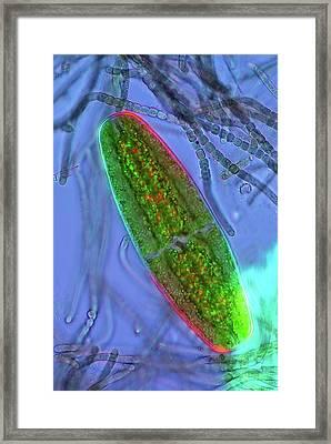 Desmid And Cyanobacteria Framed Print by Marek Mis