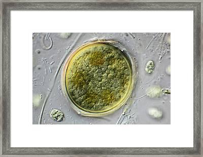 Desmid Zygote Framed Print by Frank Fox