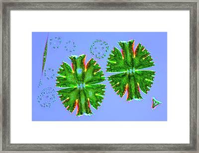 Desmids And Dictyosphaerium Green Algae Framed Print by Marek Mis