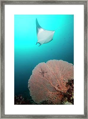 Devil Ray Behind Sea Fan Framed Print by Scubazoo