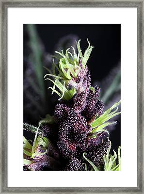 Devil Weed Seeds 'the Purps' Macro Framed Print by Stock Pot Images