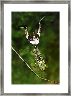 Devils Praying Mantis In Defensive Framed Print by Thomas Marent