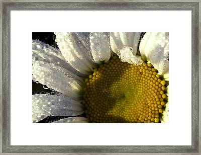 Dew Covered Daisy Framed Print by Amanda Kiplinger