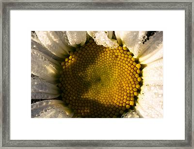 Dew Covered Daisy II Framed Print by Amanda Kiplinger
