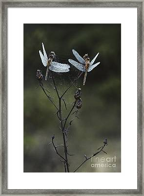 Dew-covered Dragonflies Framed Print by Larry West