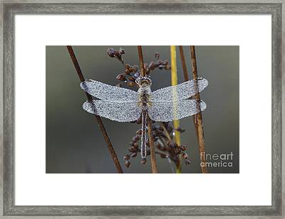 Dew-covered Dragonfly Framed Print by Larry West