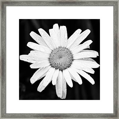 Dew Drop Daisy Framed Print by Adam Romanowicz