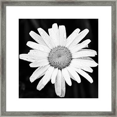 Dew Drop Daisy Framed Print by Adam Romanowicz