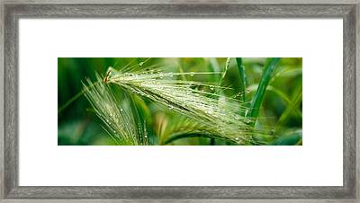 Dew Drops On Barley, San Francisco Framed Print by Panoramic Images