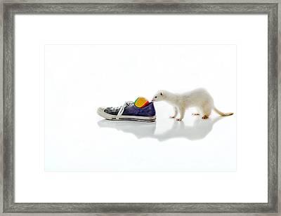 Dew Ferret Framed Print by Sennie Pierson
