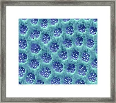 Diatom Detail Framed Print by Steve Gschmeissner