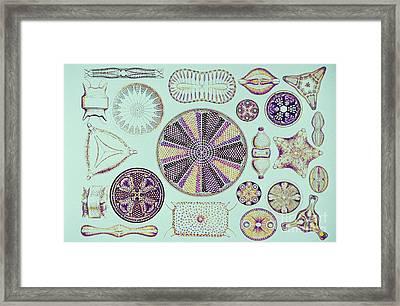 Diatoms, After Ernest Haeckel Framed Print by Scott Camazine