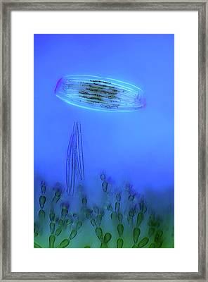 Diatoms And Red Algae Framed Print by Marek Mis