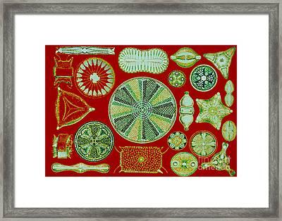 Diatoms-ernst Haeckel Framed Print by Scott Camazine