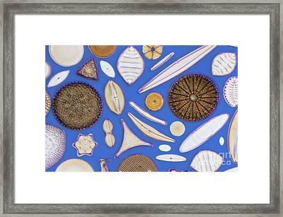 Diatoms Framed Print by Kent Wood
