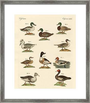 Different Kinds Of Ducks Framed Print by Splendid Art Prints