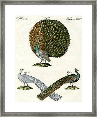 Different Kinds Of Peacocks Framed Print by German School