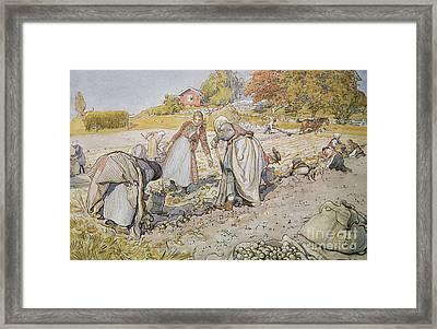 Digging Potatoes Framed Print by Carl Larsson