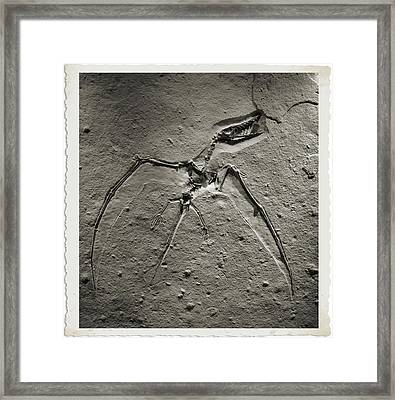 Pterodactyl Fossil Framed Print by Dan Sproul