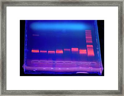 Dna Electrophoresis Under Uv Light Framed Print by Louise Murray