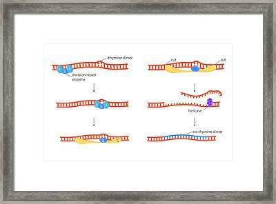 Dna Repair Mechanism Framed Print by Science Photo Library