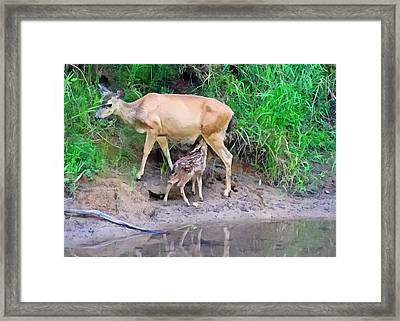 Doe With Nursing Fawn Framed Print by Nick Kloepping