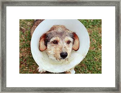Dog In Protective Cone Framed Print by Mauro Fermariello
