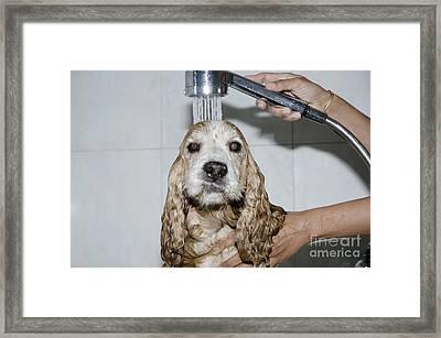 Dog Taking A Shower Framed Print by Mats Silvan