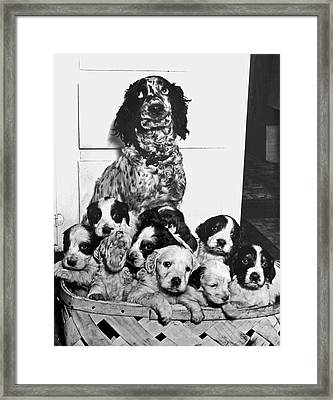 Dog With Twelve Puppies Framed Print by Underwood Archives