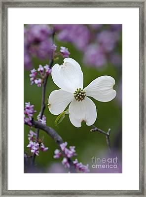 Dogwood And Redbud - D008979 Framed Print by Daniel Dempster