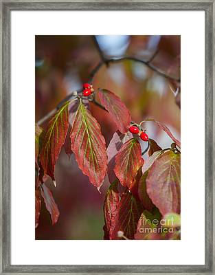 Dogwood Berries Framed Print by Kay Pickens